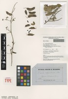 Isolectotype of Cassia oligoclada F.Muell. [family FABACEAE]