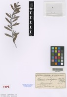 Isotype of Acacia subglauca Maiden & Blakely [family FABACEAE]