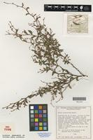 Isotype of Acacia aculeiformis Maslin [family FABACEAE]