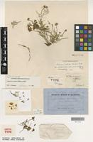 Lectotype of Swainsona oroboides F.Muell. ex Benth. [family FABACEAE]