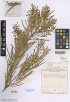 Isotype of Acacia sabulosa Maslin [family FABACEAE]