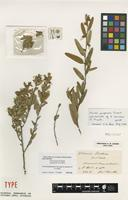 Lectotype of Hovea beckeri F.Muell. [family FABACEAE]