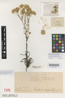 Lectotype of Ixiolaena chrysantha Steetz [family ASTERACEAE]