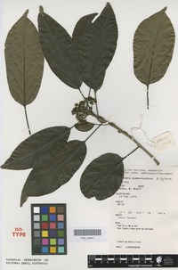 Isotype of Lindera queenslandica B.Hyland [family LAURACEAE]