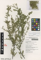 Isotype of Pseudanthus ballingalliae Halford & R.J.F.Hend. [family PICRODENDRACEAE]