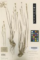 Holotype of Monachather paradoxus Steud. [family POACEAE]