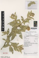Isotype of Solanum cocosoides A.R.Bean [family SOLANACEAE]
