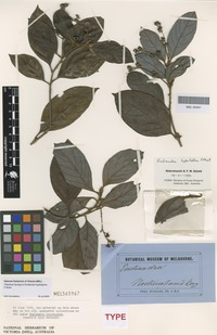 Syntype of Endiandra hypotephra F.Muell. [family LAURACEAE]