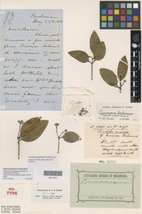Isotype of Persea baileyana F.Muell. ex F.M.Bailey [family LAURACEAE]