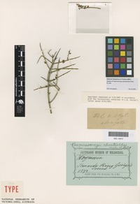 Isotype of Psammomoya ephedroides Diels & Loes. [family CELASTRACEAE]