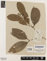 Holotype of Calyptranthes widgreniana O.Berg [family MYRTACEAE]