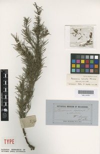 Isolectotype of Persoonia sulcata Meisn. [family PROTEACEAE]