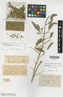 Lectotype of Psoralea leucantha F.Muell. [family FABACEAE]
