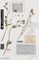 Holotype of Pentalepis trichodesmoides F.Muell. [family ASTERACEAE]