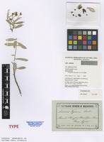 Holotype of Acacia tysonii Luehm. [family FABACEAE]