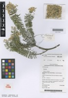 Isotype of Cassinia decipiens Orchard [family ASTERACEAE]