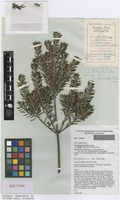 Isotype of Westringia raleighii B.Boivin [family LAMIACEAE]