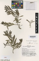 Syntype of Eremophila glabra Chinnock subsp. carnosa [family SCROPHULARIACEAE]