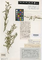 Holotype of Goodenia stephensonii F.Muell. [family GOODENIACEAE]