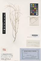 Holotype of Cleome tetrandra F.Muell. var. simplicifolia [family BRASSICACEAE]