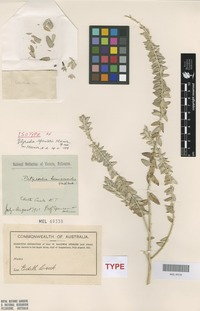 Isotype of Pityrodia spenceri Munir [family LAMIACEAE]