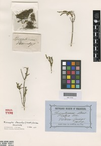 Holotype of Thryptomene stenocalyx F.Muell. [family MYRTACEAE]