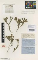 Syntype of Calycothrix brachychaeta F.Muell. [family MYRTACEAE]