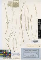 Isotype of Eriachne pallida F.Muell. ex Benth. [family POACEAE]