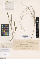 Syntype of Cardamine laciniata F.Muell. [family BRASSICACEAE]