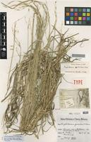 Isolectotype of Amphibromus gracilis P.Morris [family POACEAE]
