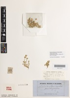 Holotype of Aphelia brizula F.Muell. [family CENTROLEPIDACEAE]
