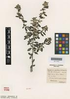 Holotype of Pomaderris pauciflora N.A.Wakef. [family RHAMNACEAE]