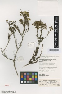 Isotype of Verticordia brevifolia A.S.George [family MYRTACEAE]