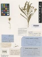 Lectotype of Goodenia strangfordii F.Muell. [family GOODENIACEAE]