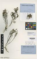 Isotype of Boronia humilis Turcz. [family RUTACEAE]