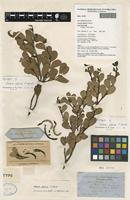 Lectotype of Acacia alpina F.Muell. [family FABACEAE]