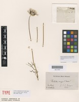 Isotype of Bellida major S.Moore [family ASTERACEAE]