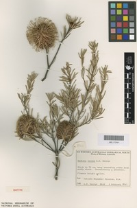 Isotype of Banksia incana A.S.George [family PROTEACEAE]