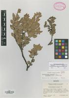 Isotype of Arctostaphylos pungens Kunth subsp. procumbens Knight & Gankin [family ERICACEAE]