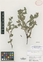 Isotype of Nama hintoniorum G.L. Nesom [family HYDROPHYLLACEAE]