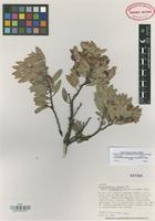 Isotype of Arctostaphylos pungens Kunth subsp. duranguensis Knight [family ERICACEAE]