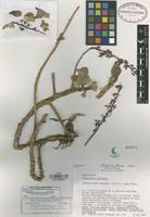Holotype of Thompsonella mixtecana J. Reyes & L. López [family CRASSULACEAE]