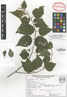 Isotype of Heliocarpus parvimontis M. Gual [family TILIACEAE]