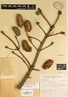 Isotype of Picea mexicana Martínez [family PINACEAE]