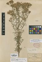 Isotype of Stevia lozanoi B.L. Rob. [family COMPOSITAE]