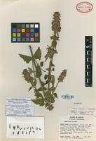 Isotype of Agastache palmeri (B.L. Rob.) Lint & Epling var. leonensis R. W. Anderson [family LAMIACEAE]