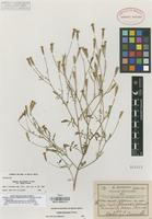 Isotype of Tagetes jaliscensis Greenm. var. minor Greenm. [family COMPOSITAE]