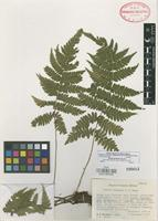 Isotype of Ctenitis baulensis A.R. Sm. [family POLYPODIACEAE]