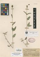 Holotype of Bidens gypsophila Miranda [family COMPOSITAE]