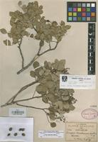 Isotype of Amyris madrendis S. Watson [family RUTACEAE]